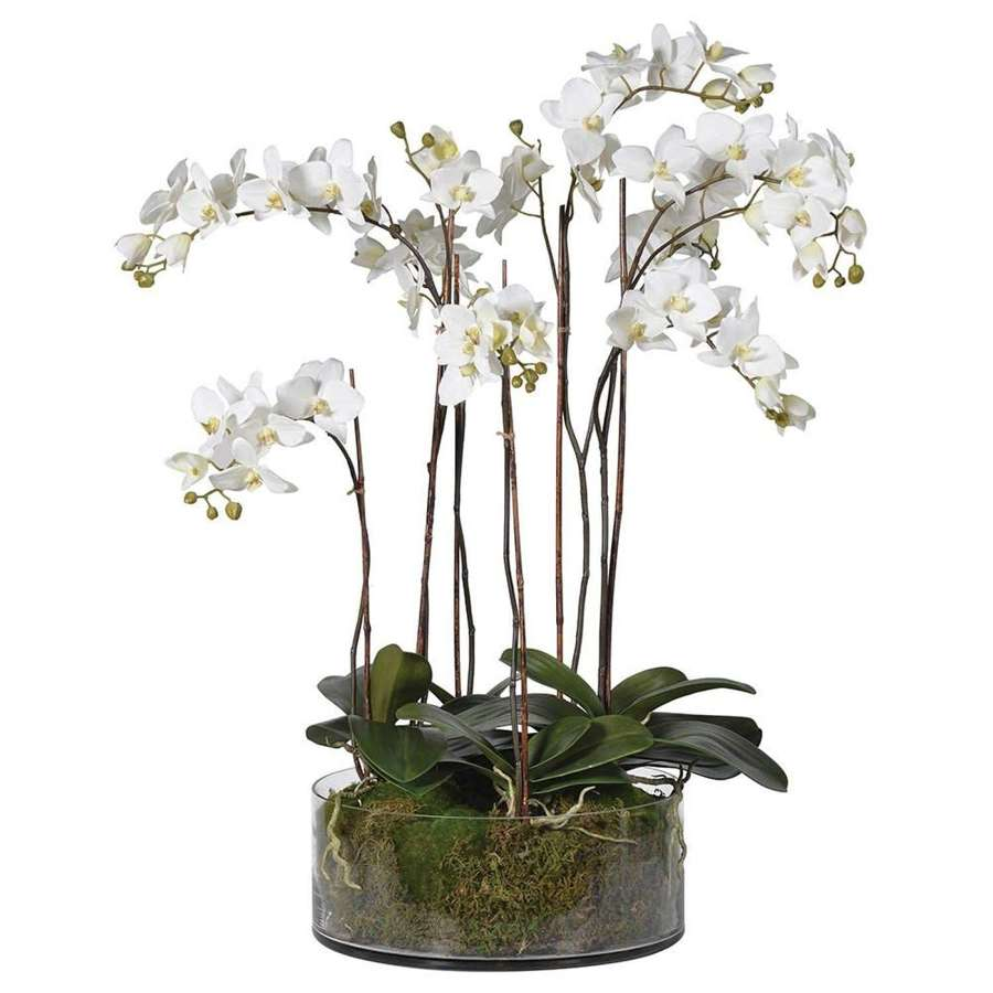 Tall, pretty white orchid in shallow glass bowl with moss